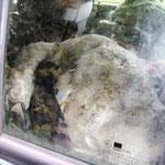 Durch die Scheibe eines Jägerautos, übereinander gestapelt tote Jungschwäne.
