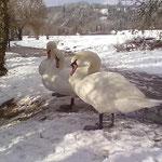 Schwäne im Winter -1