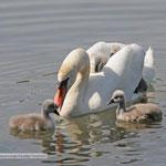 Schwanenmutter mit Küken