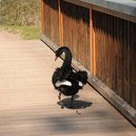 Schwarzschwänchen auf dem Weg ins Naturschutzgebiet.