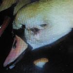 In der Schonzeit, Schwan mit einem Streifschuss im Gesicht. Wir brachten den Schwan zum  Tierarzt, u. pflegten ihn danach gesund.