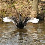 Trauerschwan beim Flügelschlagen.