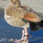 Nilgans mit abfallendem Bein, verursacht über Angelschnur.