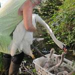 Die Schwanenmutter und ihre 6 Küken kommen nun auf unseren Pflegeteich. Ohne den Schwanenvater haben sie keine Chance im Revier zu bleiben, und zu überleben.