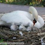 Schwanenküken im Nest