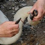 Angelhaken u. Schnur wird aus dem Schnabel eines Schwans entfernt.