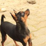 Hofhund Spyke