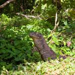 Die jüngeren Warane leben die ersten Jahre meist auf Bäumen, so schützen sie sich vor ihren eigenen älteren Artgenossen