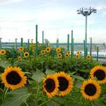 Sonnenblumengarten mit Blick auf das Rollfeld