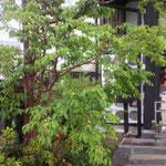 これが店名の由来でもある「娑羅(しゃら)の木」です