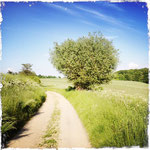 Feldweg mit prächtiger Kopfweide bei Marienthal