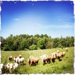Rinderherde bei Dutzow