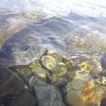 un beau poisson de Mai