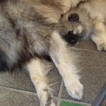 Wolfsspitz Welpe Hope-Babette von der Römerroute
