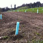 Die Haselnusstauden wurden am 14.03.2014 gepflanzt.