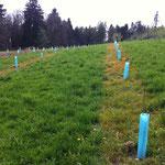 Damit das Gras das Wachstum der Stauden nicht konkurrenziert, wird der Streifen in den ersten Jahren freigehalten. (07.04.2014)