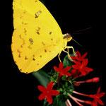 P35 Phoebis philea