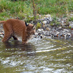 lx84 le lynx ne craint pas l'eau