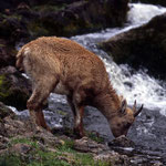 B136 femelle s'abreuvant au bord d'une rivière