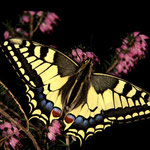 P06 Machaon