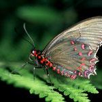 P17 Parides photinus femelle