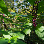 A raceme of berries on an American Pokeweed plant.