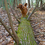 Ruby our dog was the first to try out one of the tree balance beams.