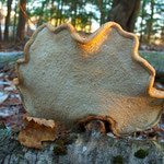 The underside of a Birch Polypore (Piptoporus betulinus). Note the rolled edge which is an identifying feature of this mushroom.