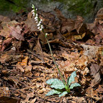 Dwarf Rattlesnake Plantain (Goodyera Repens) and Checkered Rattlesnake-plantain (Goodyera tesselata) will hybridize, making them difficult to identify at times.
