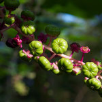 Young fruit of the American Pokeweed.