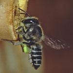 Luzerne-Blattschneiderbiene, Weibchen mit Rosenblattstück, Foto: J. Alberti