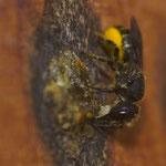 Löcherbiene macht die Öffnung mit Baumharz zu