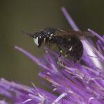 Maskenbiene, Männchen (wahrsch. Hylaeus hyalinatus)