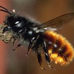 Gehörnte Mauerbiene (Osmia cornuta)  verschließt ihr Nest, Foto: J. Alberti