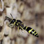 Gemeine Fugenwepe (Ancistroceros nigricornis), Foto: J. Alberti