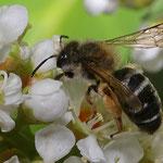 Frühlings-Seidenbiene auf Kirschlorbeer, Foto: J. Alberti