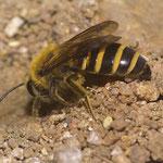 Efeu-Seidenbiene, Weibchen beim Graben im Sand, Kath. Kindergarten Wiesloch, Foto: J. Alberti