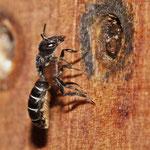 Hahnenfuß-Scherenbiene (Chelostoma florisomne), Foto: J. Alberti