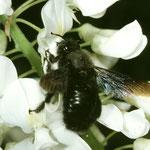 Violette Holzbiene (Xylocopa violacea) auf Wisteria, Foto: J. Alberti