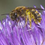 Furchenbiene auf Eselsdistel (wahrsch. Halictus subauratus)