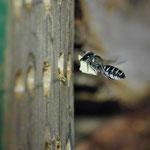 Blattschneiderbiene, Foto: J. Alberti