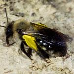 Weiden-Sandbiene, Weibchen mit Futter