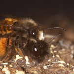 gehörnte Mauerbienen in copula (Osmia cornuta)