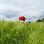 Feld bei Krummin (foto ak)