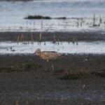 Regenbrachvogel (foto olaf wenzel)