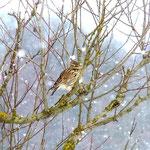Heidelerche im Schnee (foto ak)