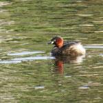 Zwergtaucher Jungvogel / Foto: NABU Insel Usedom