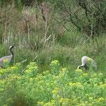 Kranichpaar / Foto: NABU Insel Usedom