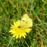 Weißklee-Gelbling (foto ak)