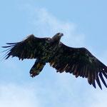 Junger Seeadler (foto ak)